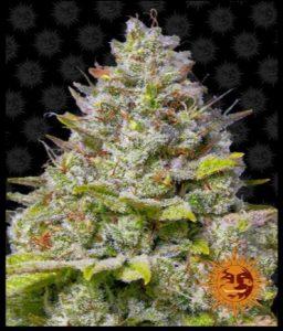 infiorescenza-cannabis-collezionismo