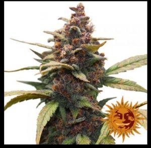 semi-ayahuaska-purple-barneys-seeds